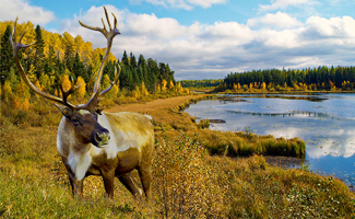 Woodland caribou in the wild