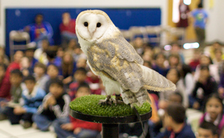 Barn owl at school show